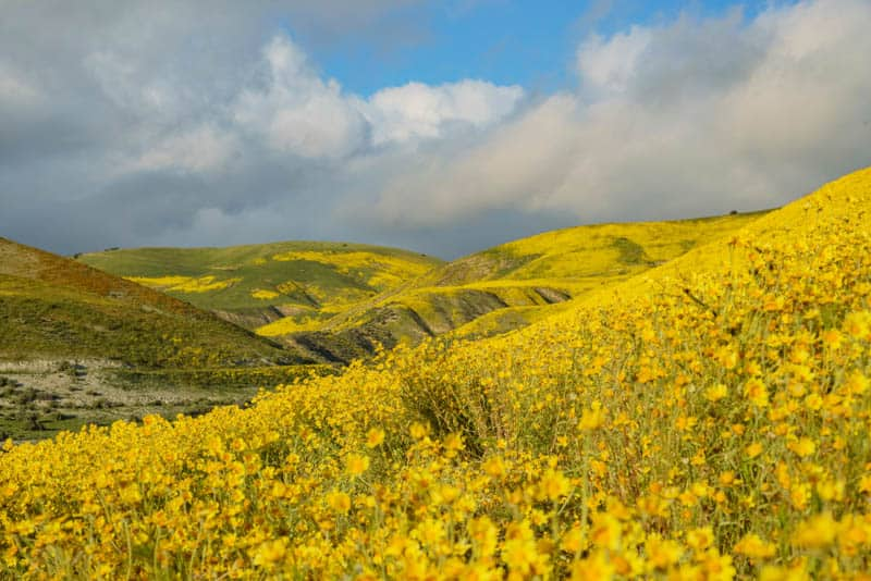 Carrizo Plain Wildflower Bloom
