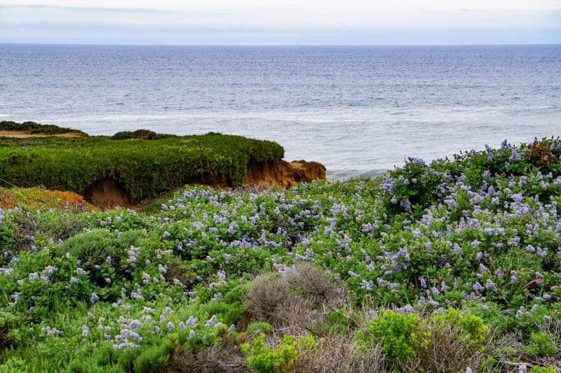 Ceanothus in bloom in Garrapata State Park in Big Sur