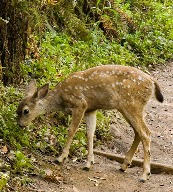 Black-tailed fawn in Muir Woods National Monument California