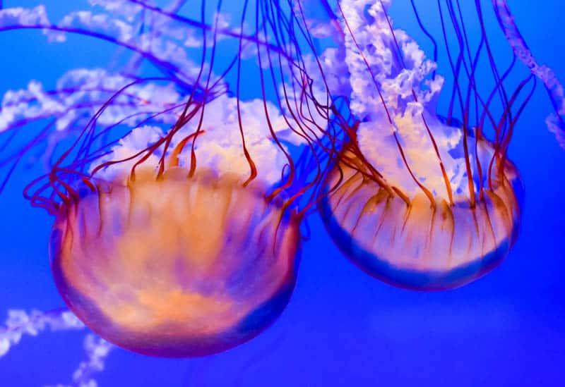 Jellyfish at Monterey Bay Aquarium in Monterey California