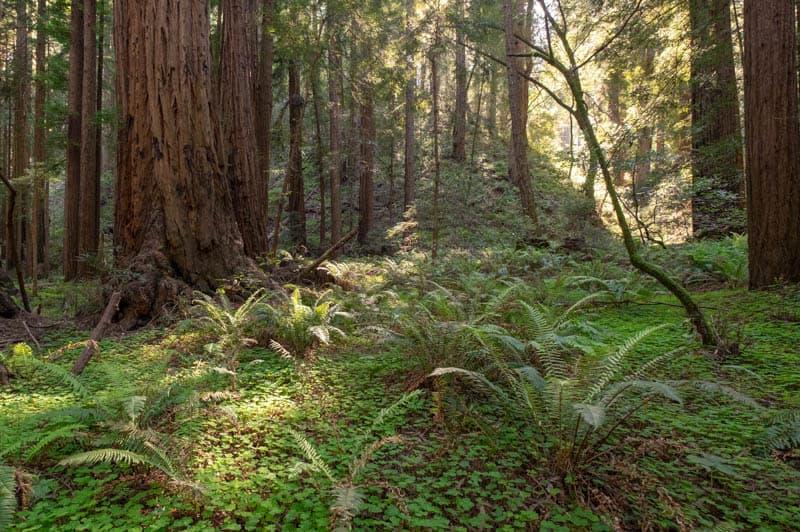 Ferns in Muir Woods California