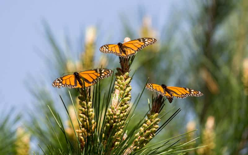 Monarch Butterflies at Pacific Grove in California