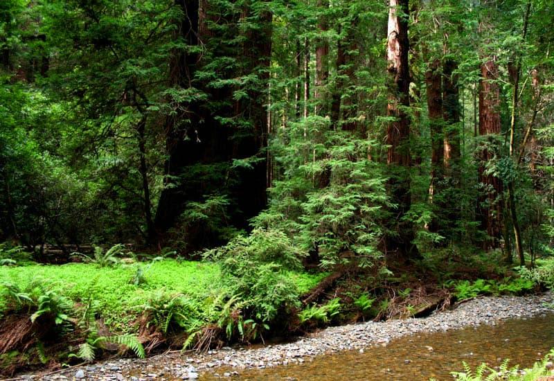 Redwood Creek in Muir Woods California