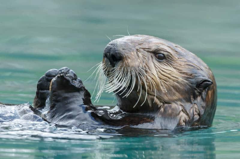 Sea Otter in Morro Bay California