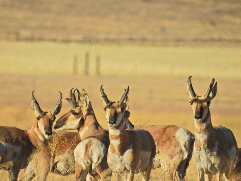 Pronghorn Antelope in Carrizo Plain in Central California