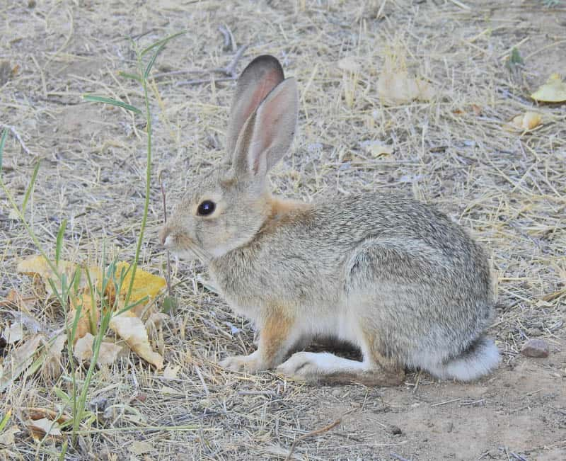 Rabbit at Carrizo Plain National Monument