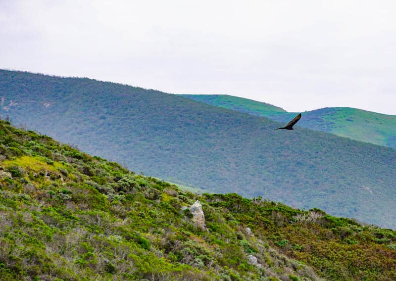 Raptor in flight at Garrapata State Park in Carmel  California