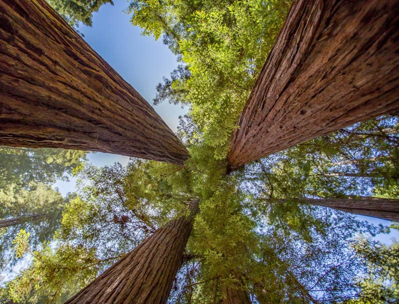 Redwood Canopy in Muir Woods National Monument California