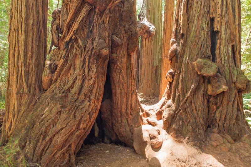 Redwood trunks Muir Woods National Monument California