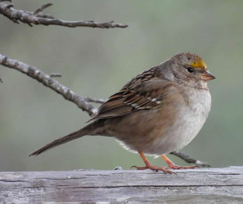 Sparrow in California