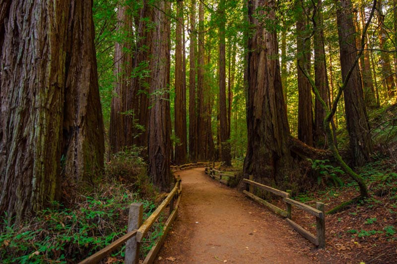 Trail in Muir Woods National Monument winding through old-growth redwoods