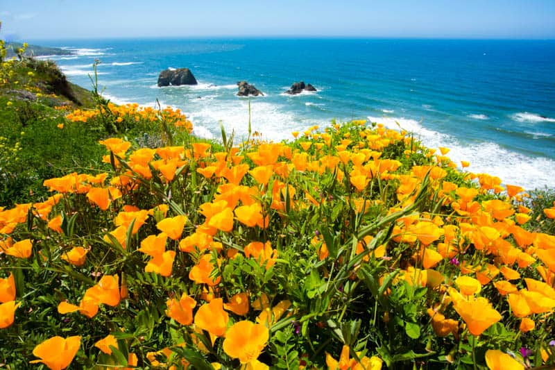 Poppies bloom along the Mendocino Coast in the spring