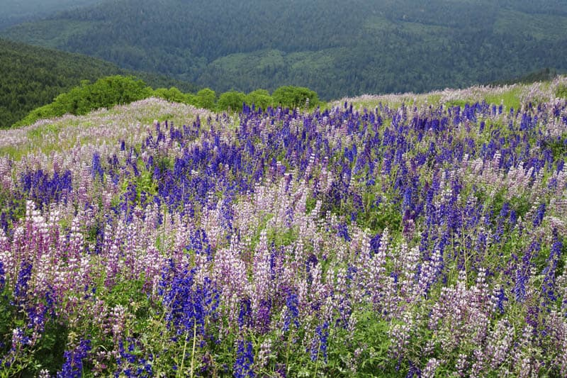 Lupine in bloom along Bald Hills Road in Redwood National Park in the spring