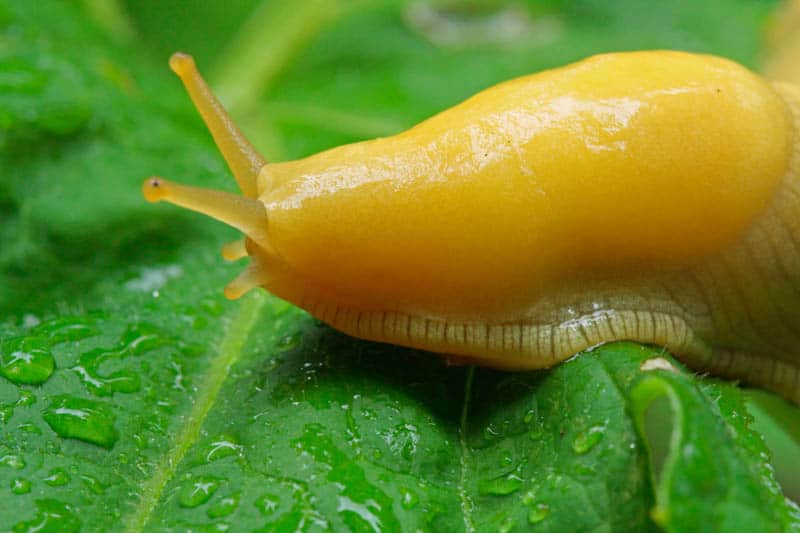 The banana slug is commonly seen in redwood forests in Northern California