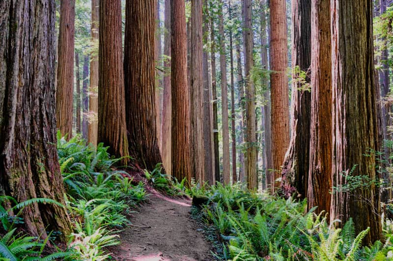 Redwoods along the Boy Scout Tree Trail in Jedediah Smith Redwoods State Park California