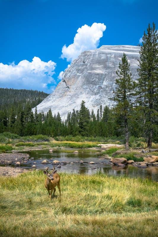 Buck in the meadows in Yosemite NP California