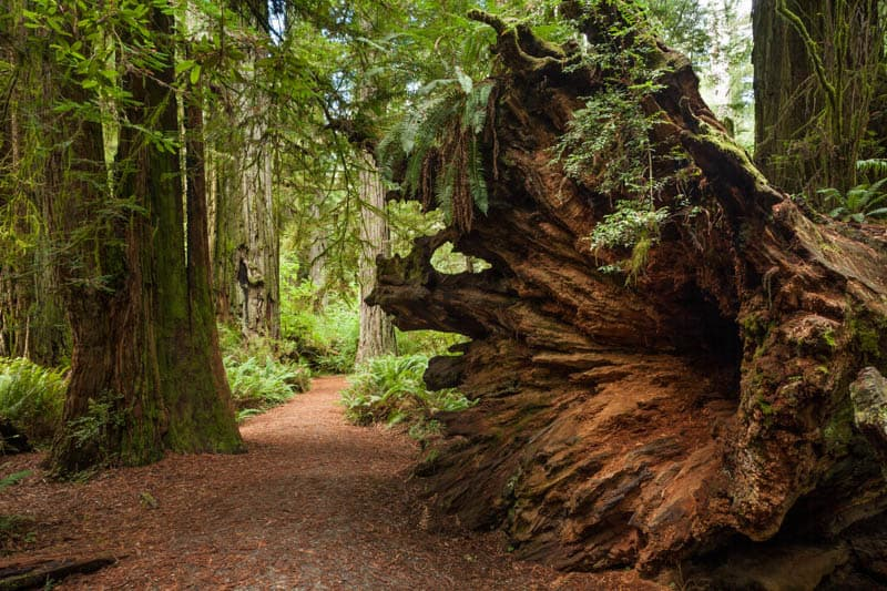 A fallen redwood tree in the Redwood National and State parks California