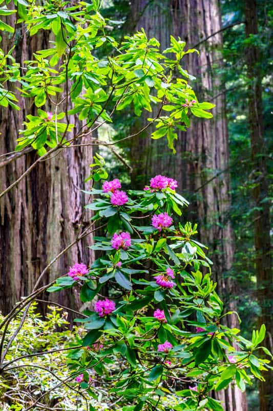 Rhododendron in bloom in Lady Bird Johnson Grove in Redwood National Park, California