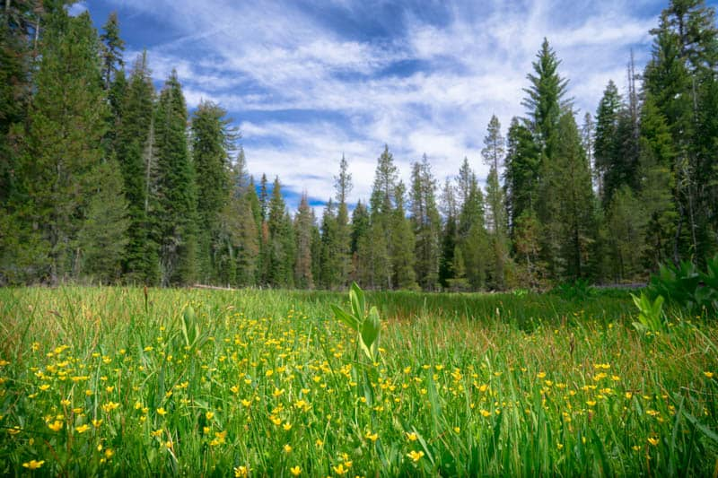 Wildflowers in  Crane Flat in Yosemite NP California