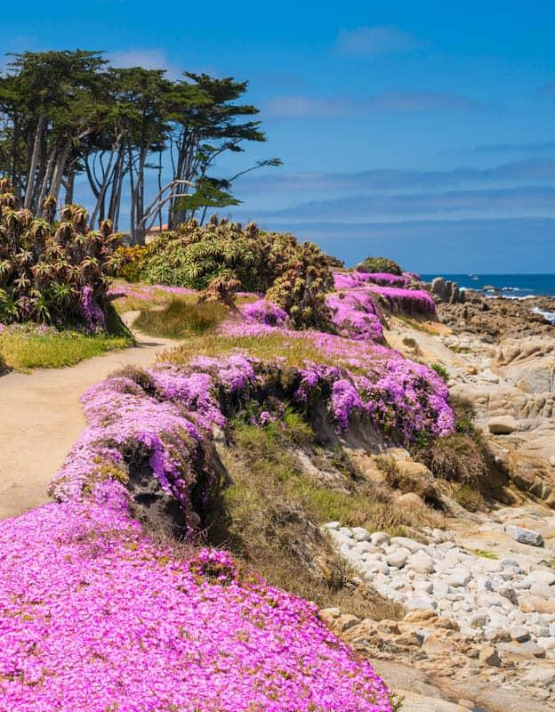 The magenta carpet in Pacific Grove, CA