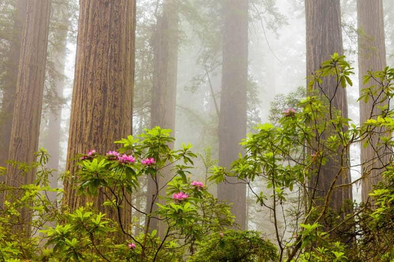 Fog envelops Damnation Creek Trail in Del Norte Coast Redwoods SP California
