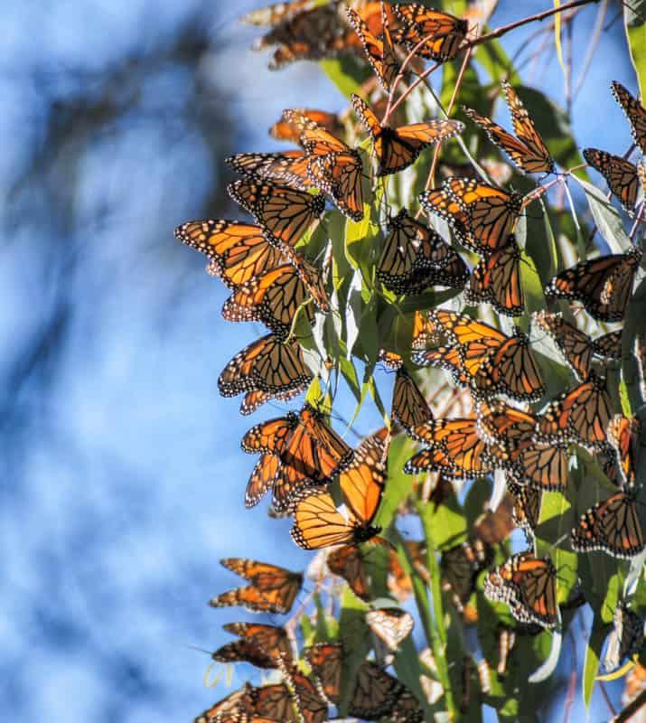 A cluster of monarch butterflies in a eucalyptus grove