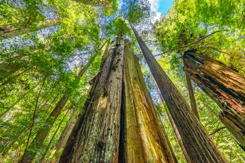 Looking up at the canopy along Newton B. Drury Scenic Parkway in Prairie Creek Redwoods State Park, California