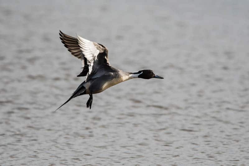 A male Northern pintail in flight