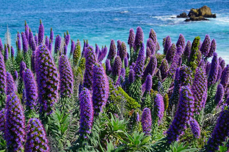 Pride of Madeira blooming in Pacific Grove California