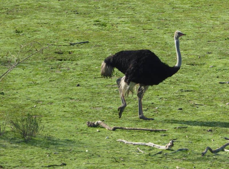 Ostrichland in Buellton California