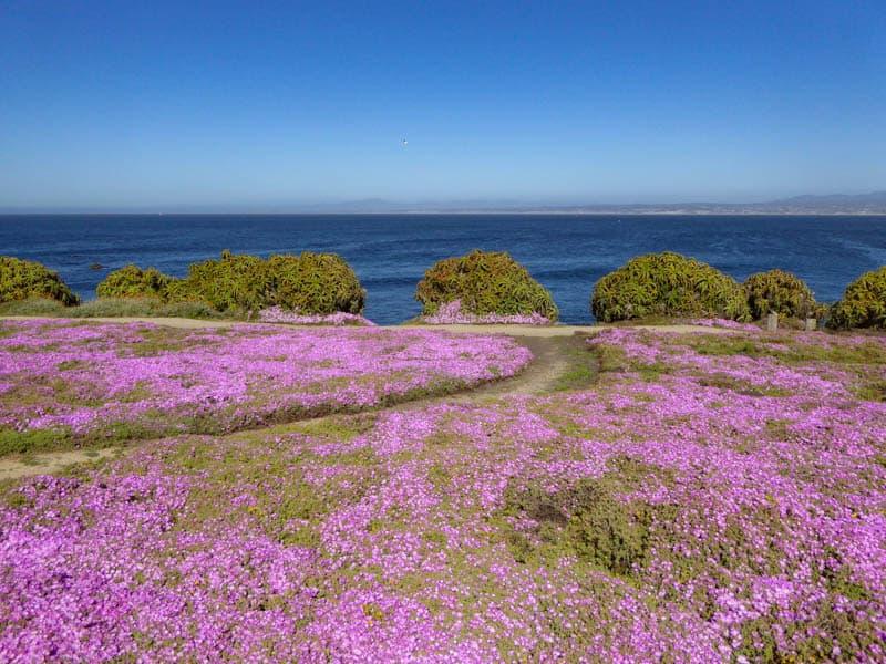 Magenta wildflowers in Pacific Grove California