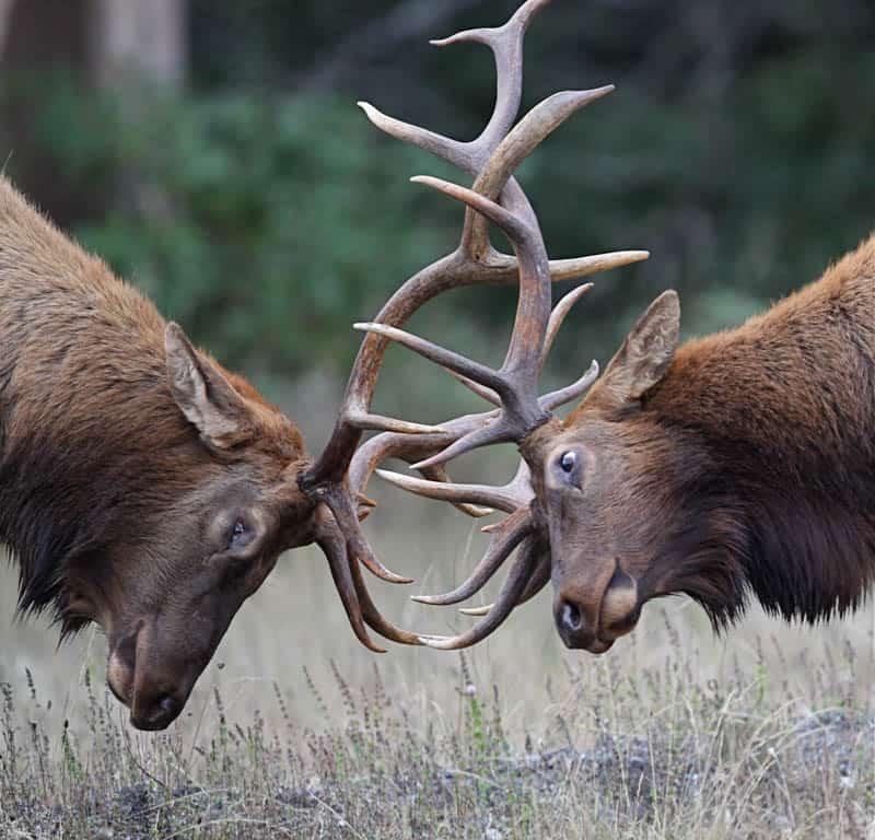 Roosevelt elk in Redwood National and State Parks California