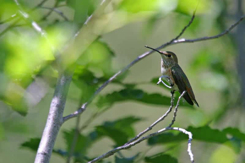 Rufous hummingbird in Lassen Volcanic NP  California