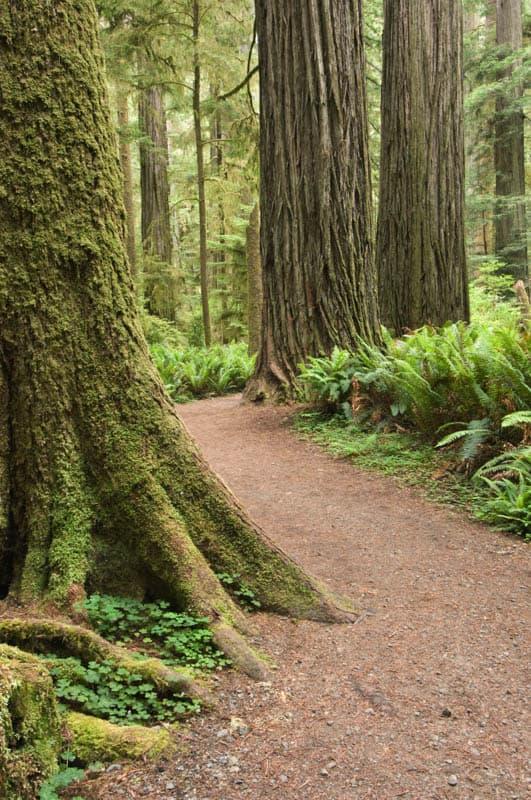 Simpson-Reed Grove Jedediah Smith Redwoods State Park California