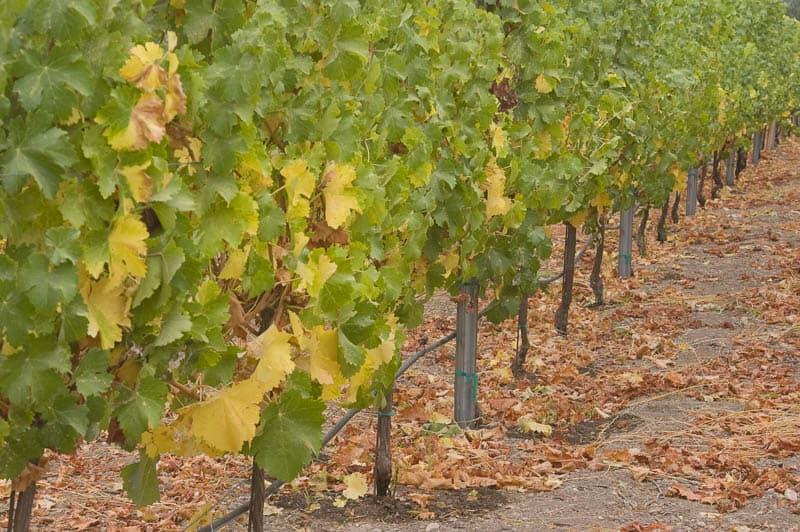 Vineyard in Santa Ynez California