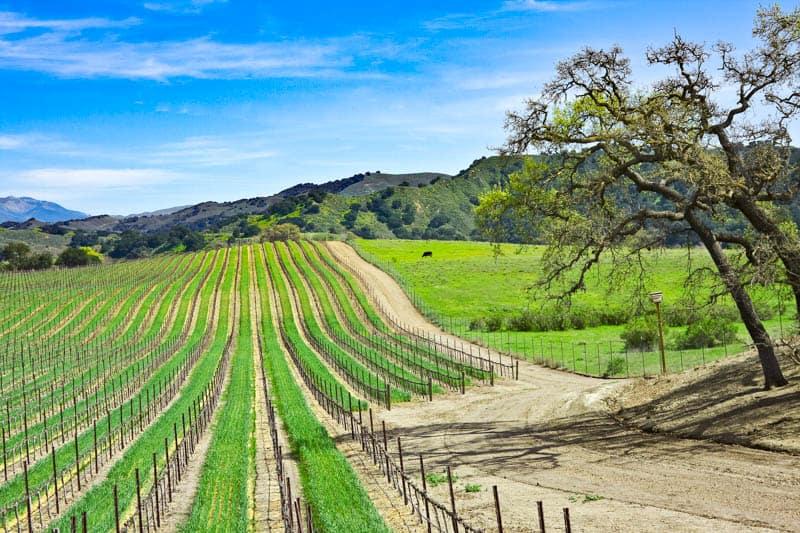Vineyards in Los Olivos California