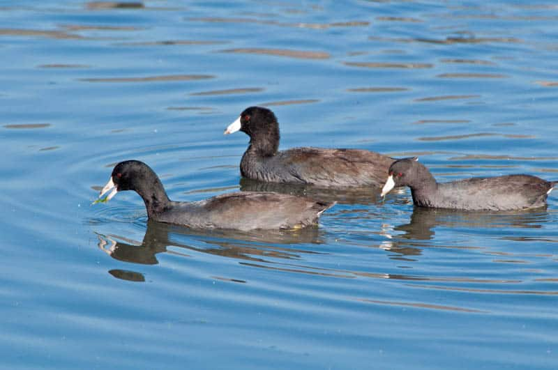 American Coots in California