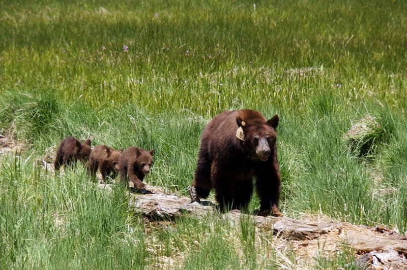 Bear and Cubs in Sequoia National Park California