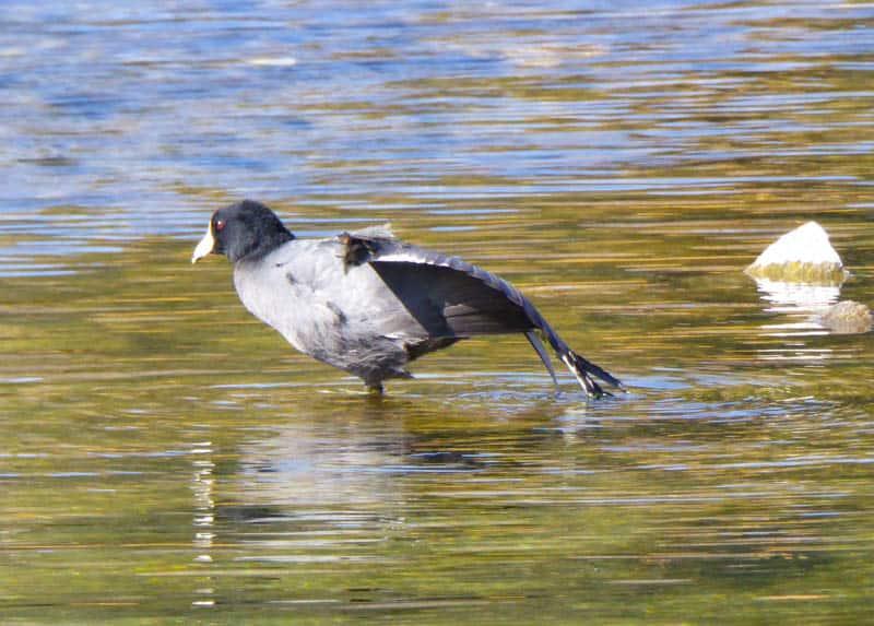 Bird at Gull Lake in California
