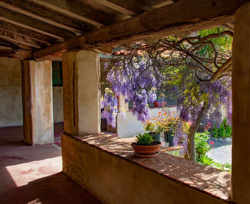 Wisteria blooms at the Carmel Mission in California