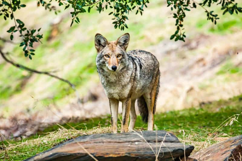 A coyote in Sequoia National Park, California