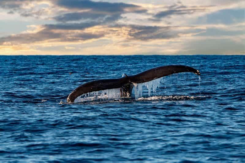 Humpback in the Pacific Ocean