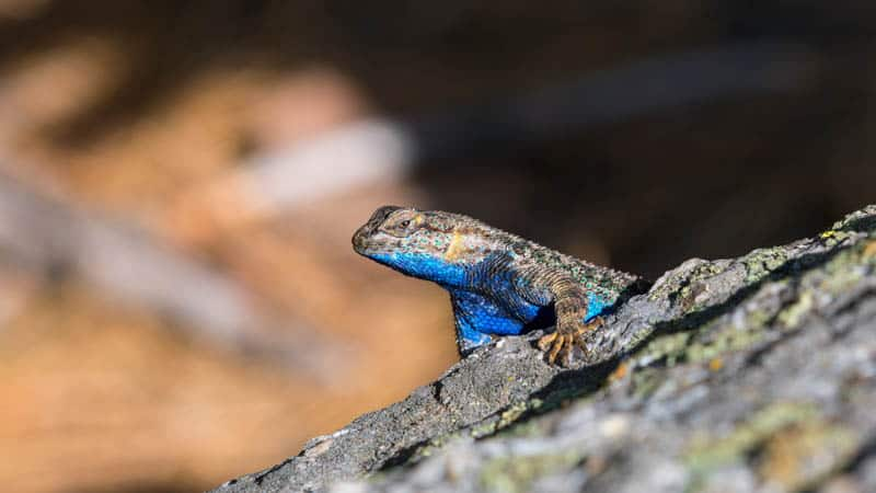 Lizard on hiking trail in Sequoia National Park, California