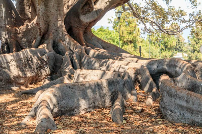 Moreton Bay Fig Tree in Santa Barbara, California
