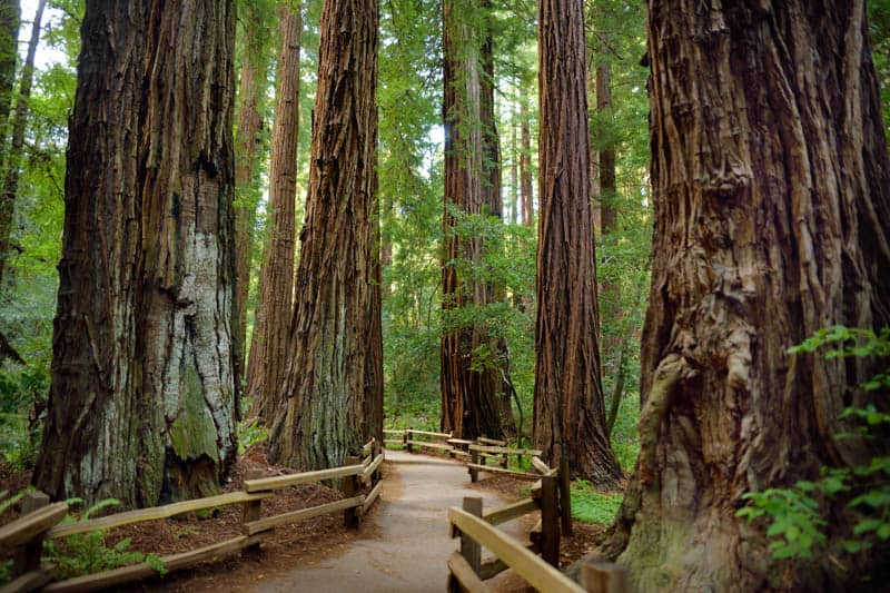 Muir Woods redwood trees in California