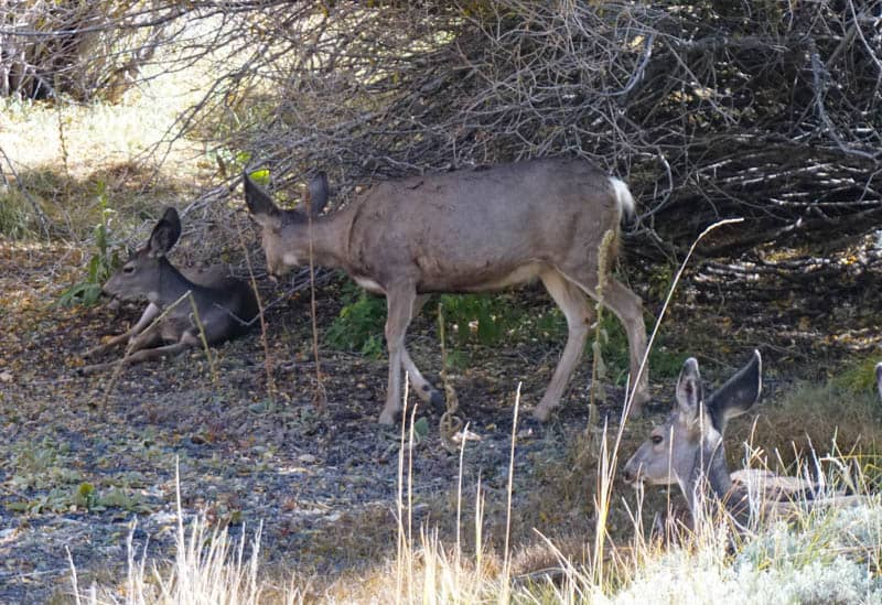 Mule Deer at Silver Lake in California