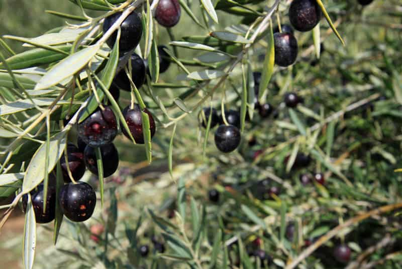 Olive Tree with Fruit in California