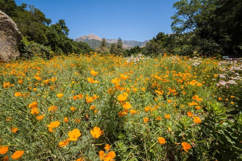 The wildflower meadow at the Botanic Garden in Santa Barbara, California