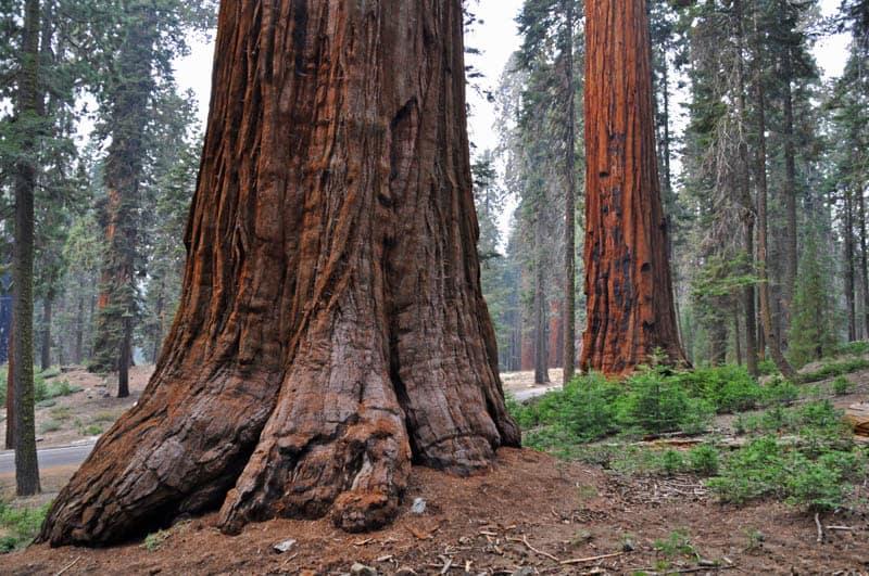 Giant sequoias in Sequoia National Park in California