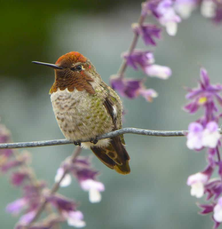 A hummingbird at Earthbound Farms in  Carmel Valley California